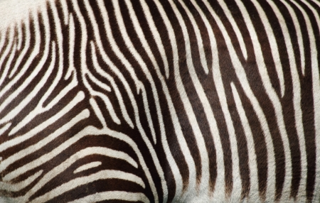 zebra texture as very nice animal background