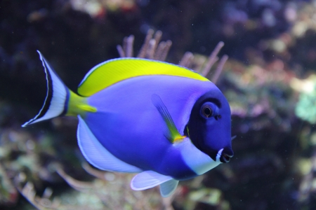 exotic blue fish from the tropical sea Stock Photo
