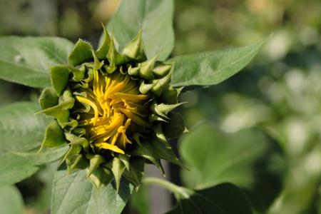 spring sunflower Stock Photo - 9663940