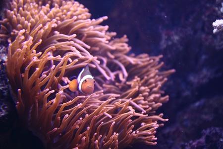 nice aquarium background with the clown fish photo