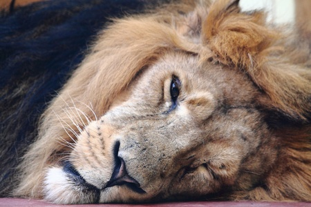 sleeping lion (head of king of animals) Stock Photo - 9803954