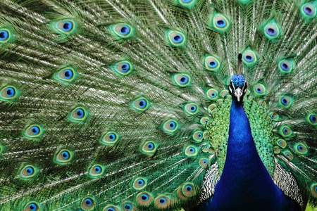 peacock eye: head peacock as very nice animal background Stock Photo