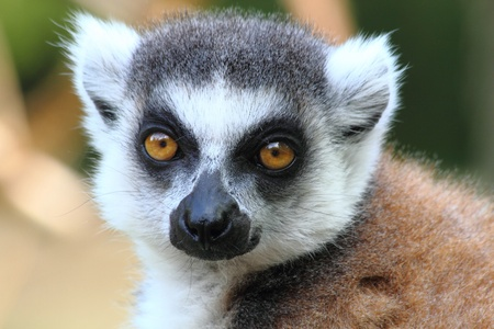 small head of very nice lemur monkey  photo