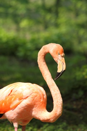 flamingo in the nature with green nature behind him