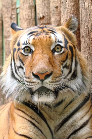 tête de tigre gentil avec fond en bois