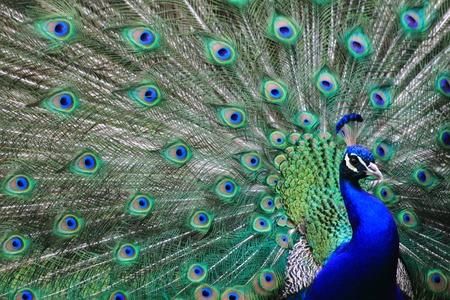 Pavone molto piacevole e colore di sfondo degli animali