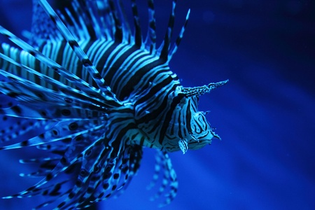 zebrafish: exotic zebra fish from the dark blue ocean