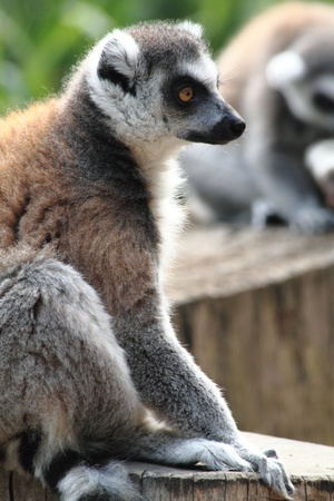 lemur monkey as very nice and funny animal  photo