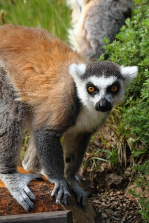 nervousness: lemur monkey as very nice and funny animal  Stock Photo