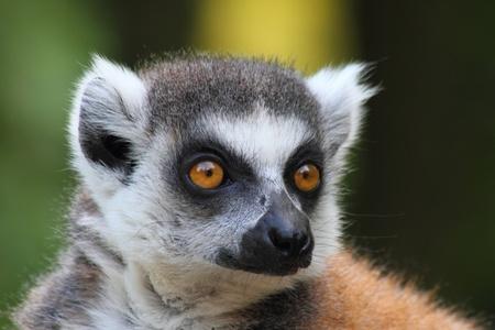 fussy: very nice detail of lemur monkey head