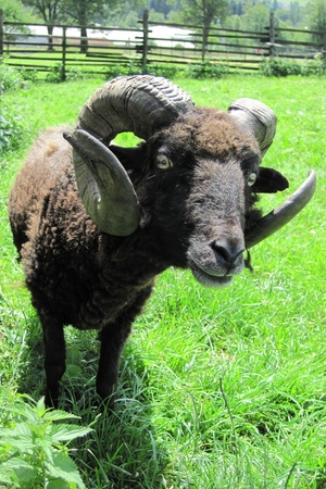 black mouflon from the small czech farm  photo