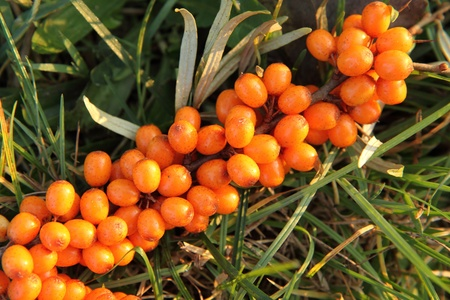 sea buckthorn as fresh orange exotic fruit  photo