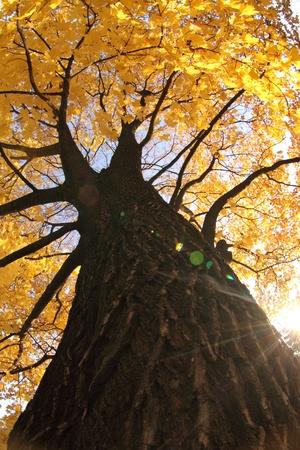 old autumn tree as nice autumn background photo