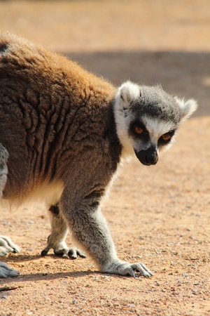 lemur monkey as nice animal living in Madagaskar photo