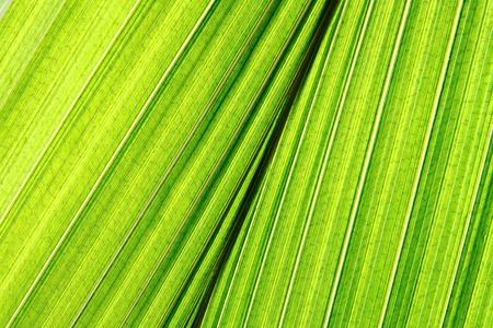 deatil: green palm leaf deatil as natural background