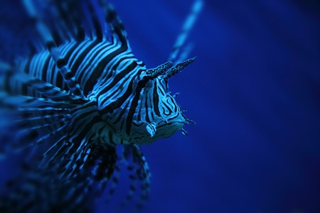 dragonfish: striped lion fish from the deep sea  Stock Photo