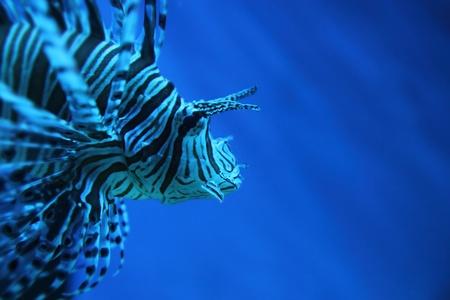 dragonfish: lion fish (dragonfish, scorpionfish) in the deep blue sea