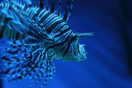 lion fish (dragonfish, scorpionfish) in the deep blue sea Stock Photo - 12320178
