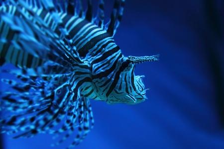 lion fish (dragonfish, scorpionfish) in the deep blue sea Stock Photo - 12320178