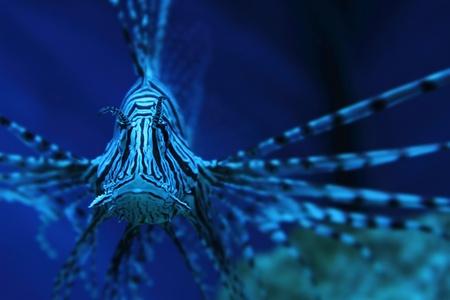 scorpionfish: lion fish (dragonfish, scorpionfish) in the deep blue sea