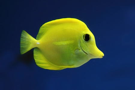 exotis fish in ywllow color on the blue background photo