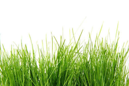 spring aeastr green grass isolated on the white background  Stock Photo - 12894010