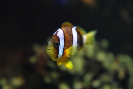color clown fish in the aquarium background photo