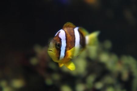 national colors: color clown fish in the aquarium background