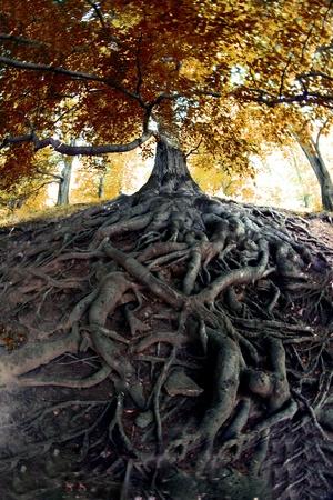 arbol raices: árbol muy viejo del bosque checo