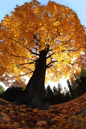 old tree in the autumn as nice natural background photo