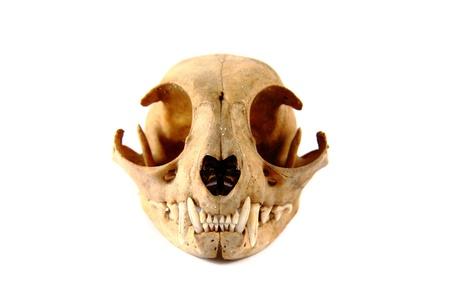 crâne de chat isolé sur le fond blanc