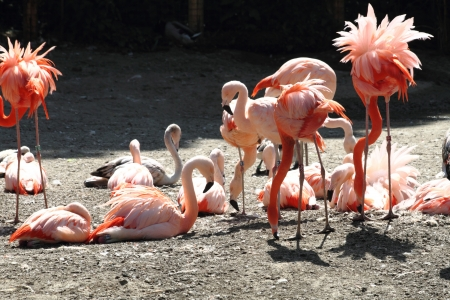 flamenco ave: Pink Flamingo aves en el sol caliente