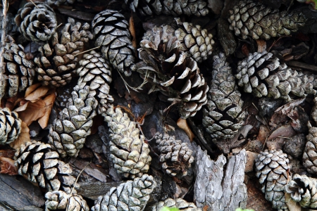 old pine cones background as nice christmas texture photo