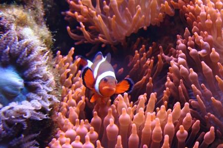 clown fish  nemo  in the red sea with corals photo