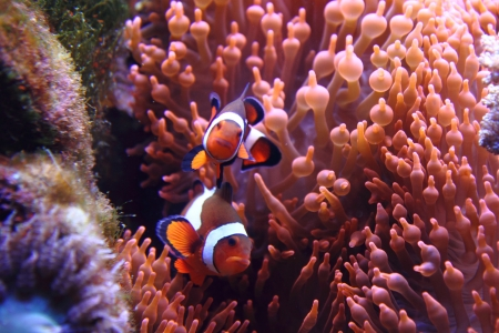 percula: nemo fishes as very nice natural background Stock Photo