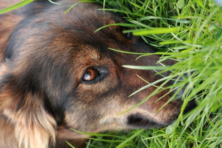 detail of the brown dog  head  in the green grass photo