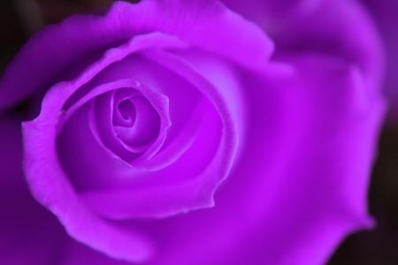 long stem roses: very nice fresch violet rose natural background