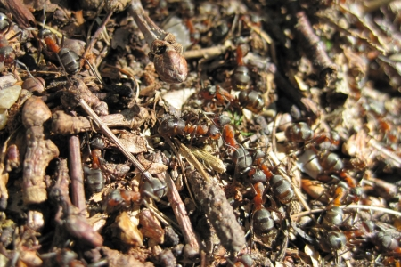ant colony as nice natural insect background photo