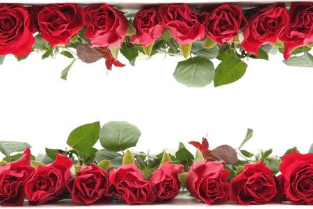 白い背景で隔離のフレームとして新鮮な赤いバラ