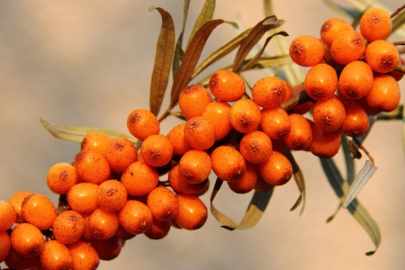 seabuckthorn: sea buckthorn  sea-buckthorn  asi very nice food background