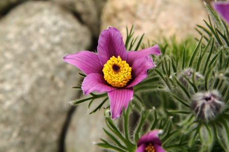 pasqueflower as very nice early spring flower  photo
