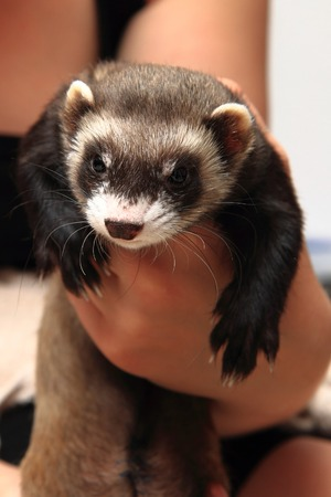 ferret: small ferret in the human hands (another pet) Stock Photo