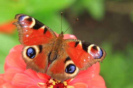 nymphalidae: butterfly peacock and red flower in the nature