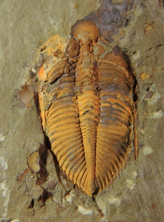 very old trilobite fossil in the grey stone  photo
