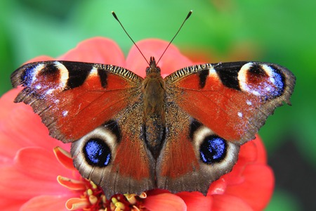 butterfly peacock and red flower in the nature