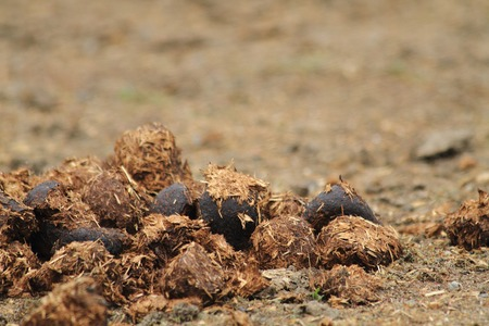 fresh horse poo as detail form animal life  photo