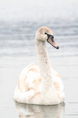swan on the lake in the early spring photo