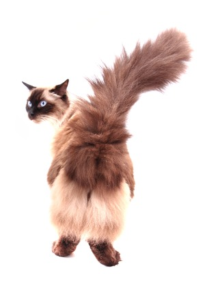 himalayan cat: ragdoll cat isolated on the white background