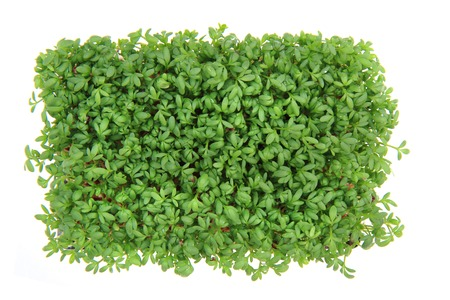 fresh green watercress isolated on the white background photo