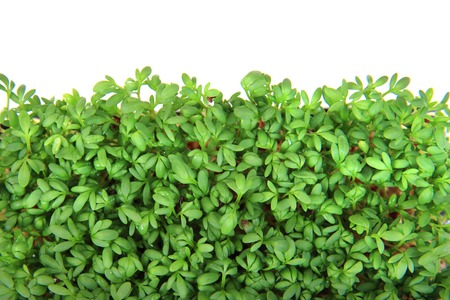 detail of watercress isolated on the white background photo